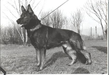 Czech German Shepherd