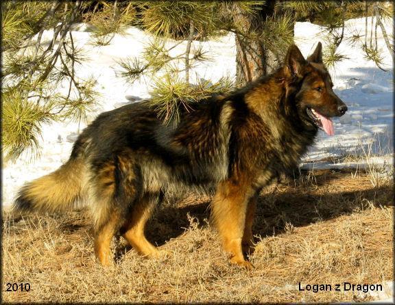 Dragon German Shepherd, 623-388-0494, German Shepherd ...