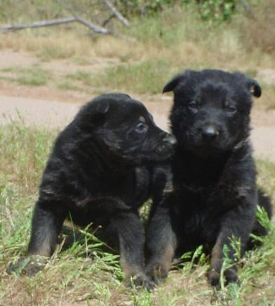 czech german shepherd puppies