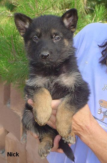 czech german shepherd dogs